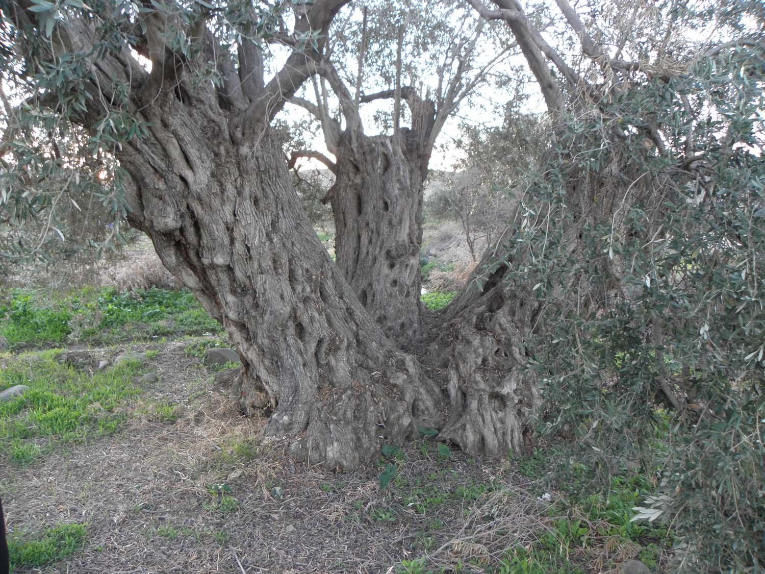 olive_cultivation_4