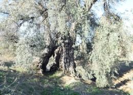 portfolio_olive_cultivation